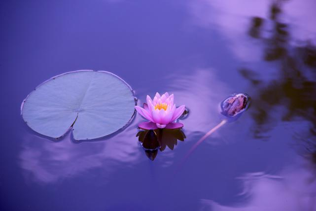 un lotus en fleur
